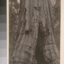 [Giant redwood, unidentified location.]--7836