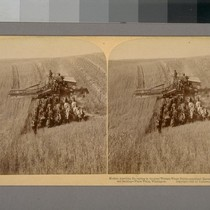 Modern American Harvesting in the Great Western Wheat Fields--Combined Harvester, Cutting, Threshing ...