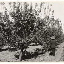 Man observing orchard