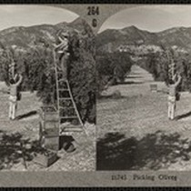 """16745 Picking Olives"", stereoview, circa 1910s"