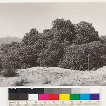 1 mile south of Black Hill. Rhus ovata in semidesert chaparral type. ...