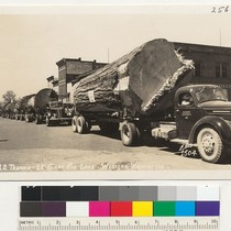 12 Trucks - 12 Giant Fir Logs - Western Washington. Fllis 1504