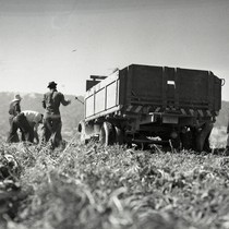Four Mexican workers loading truck with sugar beets