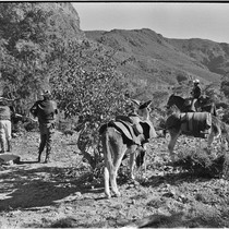 Adjusting packs and collecting fodder on trail up Arroyo del Parral as ...