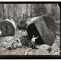 Among the Redwoods in California [Logging in Vance Woods #2/unknown]