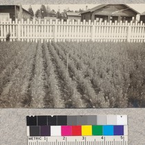 1-1 Douglas fir - Fort Bragg Nursery. Sept. 1923