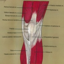 Illustration of right knee, anterior view, showing muscles, bone and tendon