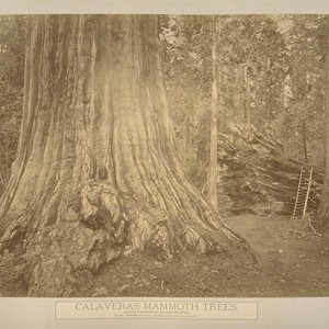 Calaveras Mammoth Trees. George Washington and Eagle's Wing