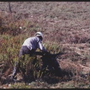 SEP87P12-11: East Bay Conservation Corps marsh clean up