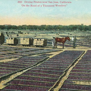 Postcard of drying prunes near San Jose, California