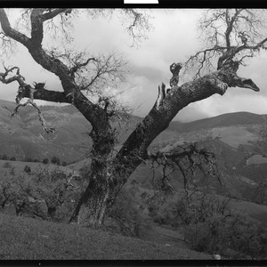 Tree - Oak. [negative]