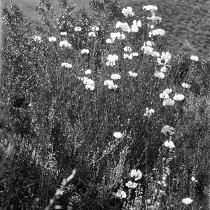 White poppies in the Descanso Valley