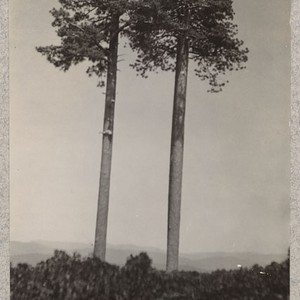 Camp Califorest. Two large western yellow pine trees standing exposed in a ...