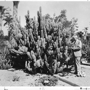 Cereus Huntingtonianus, circa 1935