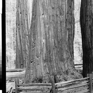 The Giant Tree of the Redwoods, Calif