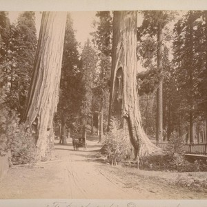 "The ""Two Sentinels""--Diameter 23 feet. Calaveras big trees grove--12 miles from Sheep ..."