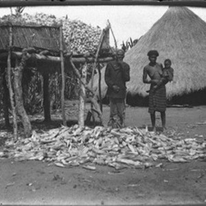 Maize harvest, Antioka, Mozambique, ca. 1901-1907