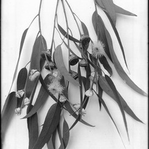 Close-up of a specimen of eucalyptus blossoms and seedpods, ca.1925
