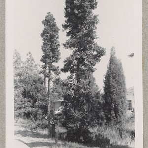 Agathis robusta and Italian cypress on Riverside campus, University of California. June ...