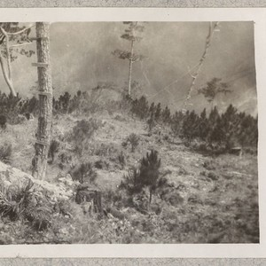 Benguet Pine. Pinus insularis. Phillippine Islands by A. Muzzall. Reproduction by the ...