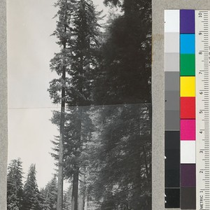 Redwoods on bluff above South Fork Eel River, Kent Grove (Garden Club ...