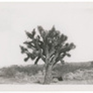 Joshua tree in bloom on Trona Randsburg Road. These trees do not ...