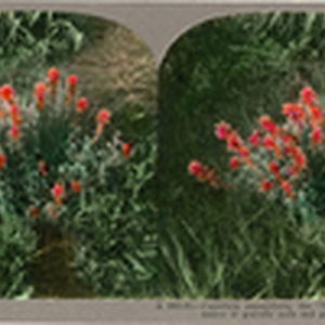 "Castilleja angustifolia, the ""Indian Paint Brush,"" is a native of gravelly soils ..."