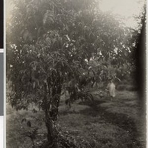Wild coffee tree in Jajjuu, Ethiopia, 1929-05-15