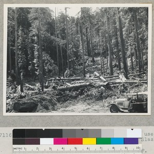 Redwood region. View from same stump used from #7115 and at right ...