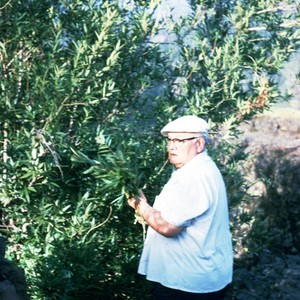 Henry Azbill gathering bay leaf at Devil's Kitchen in Bidwell Park