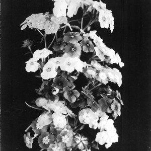 Phlox with black background, July 20, 1926