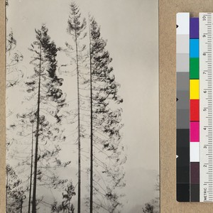 Redwood Utilization Study. The type of white fir trees mixed with the ...