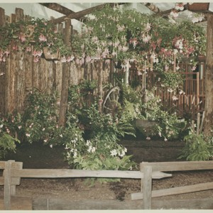 Fuchsia display at the Hall of Flowers at the Sonoma County Fair, ...