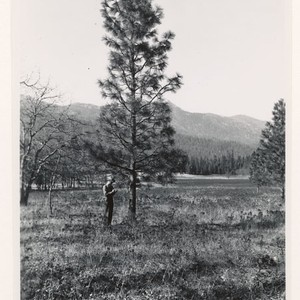 Along Minerville- Trinity Center road. Individual conifer timber tree (ponderosa pine) representative ...