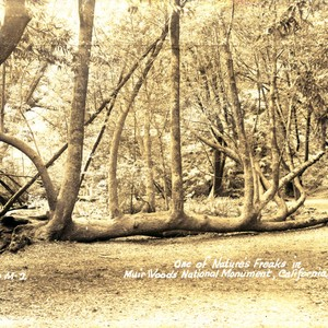 A fallen tree in Muir Woods, 1933[postcard negative]