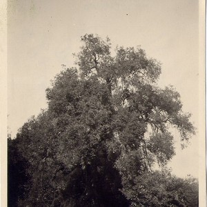 Cathedral Oak Tree, Arroyo Drive