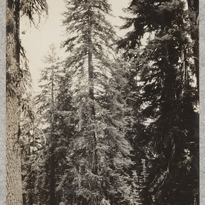 Tree of red fir (Abies magnifica), 8000 ft. elev. near Buck Rock, ...