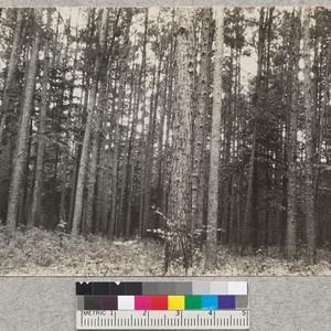 "An ""old field"" type of loblolly and shortleaf, 60 years old, near ..."