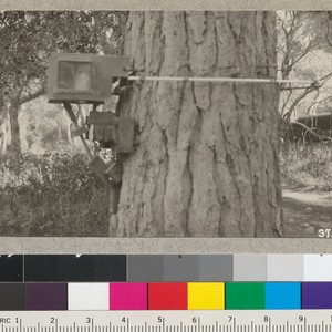 The dendrograph of Dr. McDougall mounted on the trunk of a Monterey ...