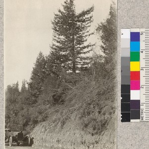H.C. Lott collecting cones from an open grown second growth tree about ...
