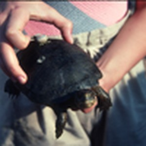 Pacific pond turtle with transmitter