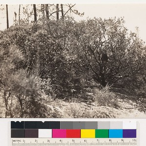 Views of the Arctostaphylos pilosula that is associated with the Coulter pine ...