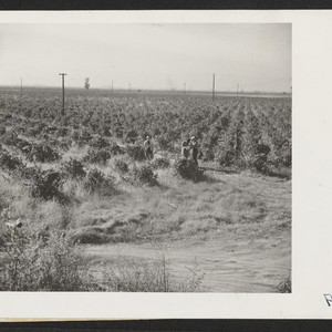 Nakaya ranch--18 acres--principal crop is Tokay grapes. Photographer: Stewart, Francis Florin, California