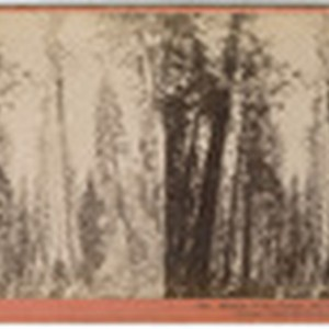Mother of the Forest, 305 feet high, 63 feet circumference, bark off ...