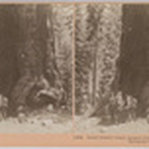 Great Grizzly Giant, largest limb is ten feet in diameter, Mariposa Grove, ...