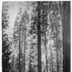 View of Calaveras Big Trees State Park in Calaveras County showing the ...