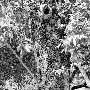 Tree with woodpecker marks at Irvine Ranch, California: Photograph