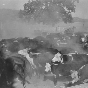 Aberdeen-Angus cattle and ranch hands during roundup at the Ryan ranch, Berryessa ...