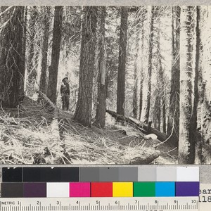 White Fir. Canyon Creek #4. Site 60' at 50 years. Volume 79,4000 ...