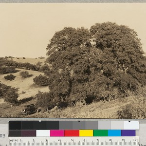California Scrub Oak, Quercus dumosa. This tree which is usually small and ...